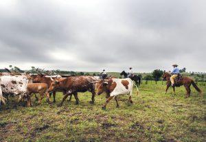 cattle-farming-kosher-certification